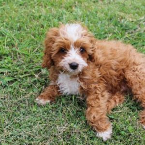 Beau the Brave Mini Cavoodle RIP