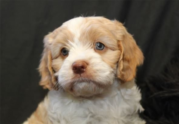 Available Puppies - Billabong Creek Farm