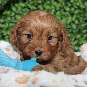 Billabong Cavoodle